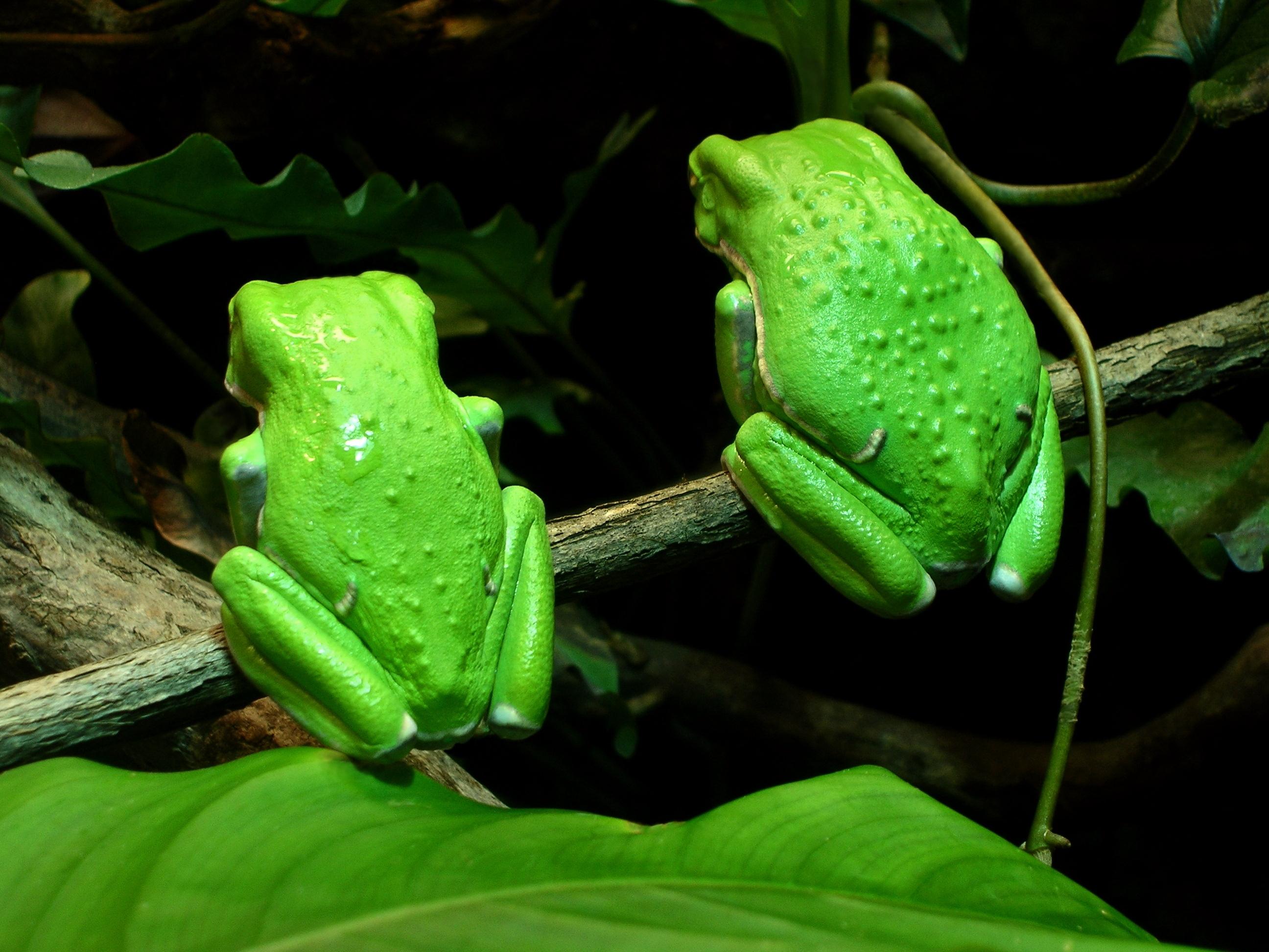 žabe korizma