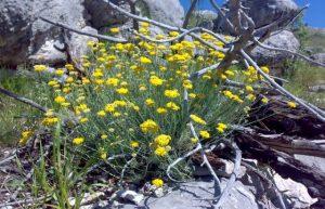 smilje branje zarada drniš biljke