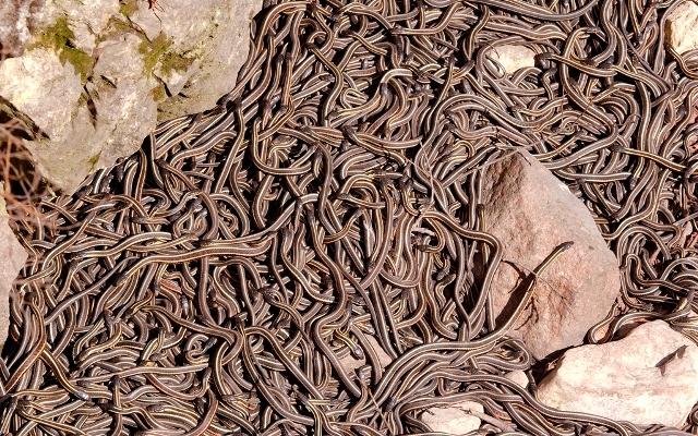zmije strah tisuće zmija