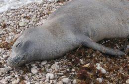 sredozemna medvjedica uginula