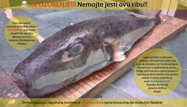 najotrovnija riba otrovna riba u jadranu napuhača
