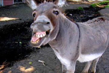 maroko, magarac, silovanje
